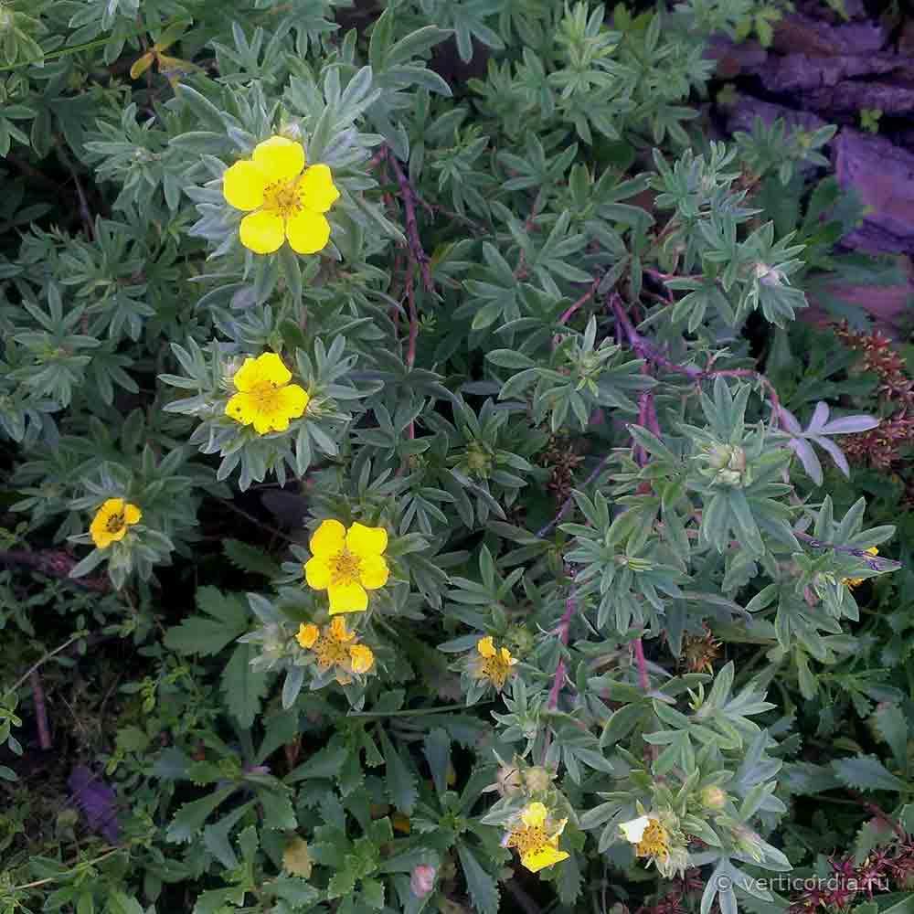 Лапчатка кустарниковая уход и выращивание фото 86