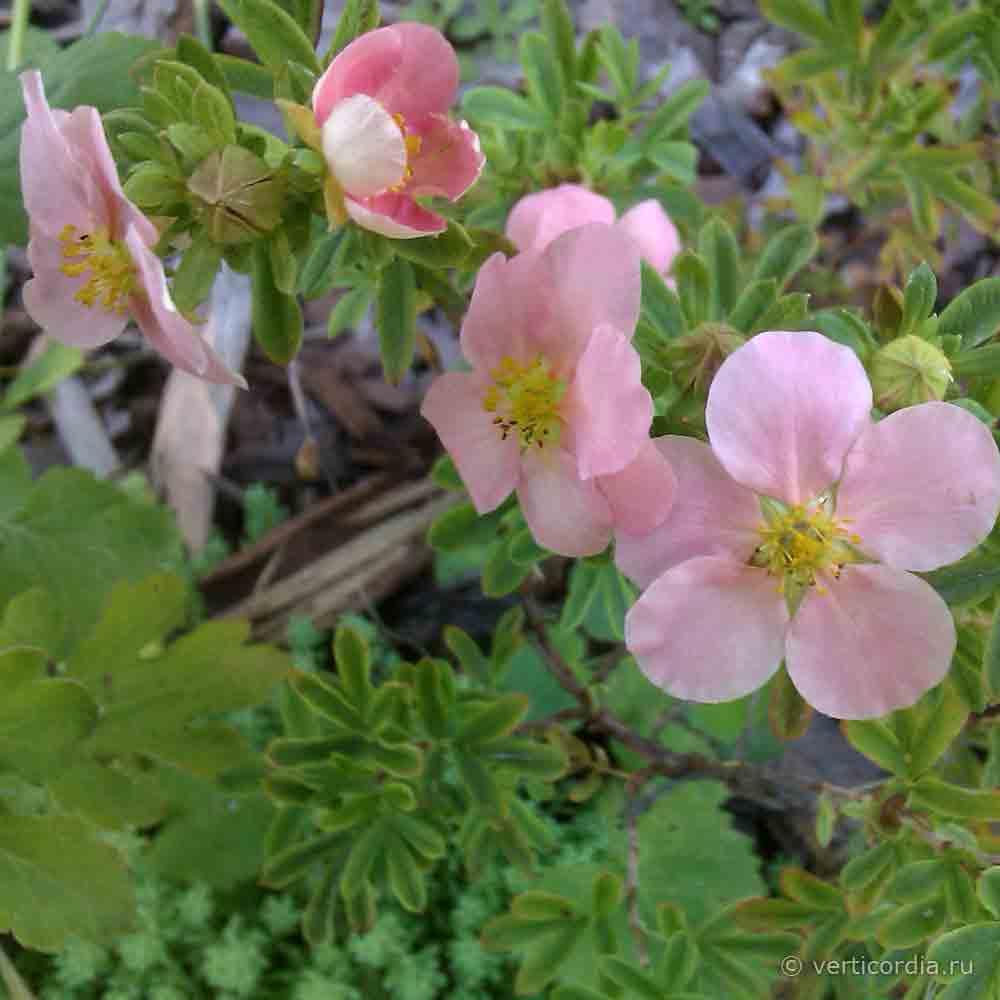 Лапчатка кустарниковая уход и выращивание фото 7